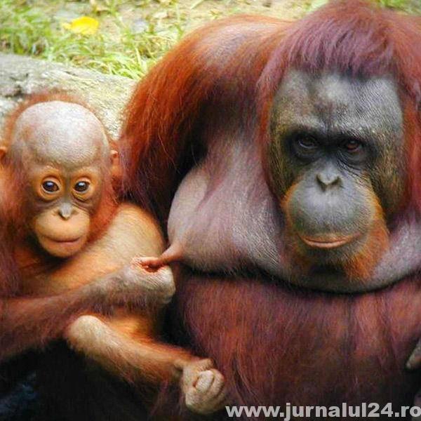 poza tare maimute