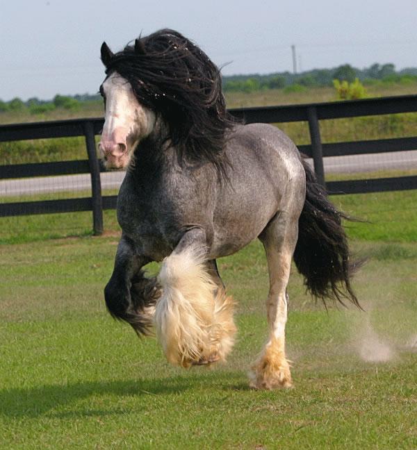 Blue Roan Gypsy Vanner Horse