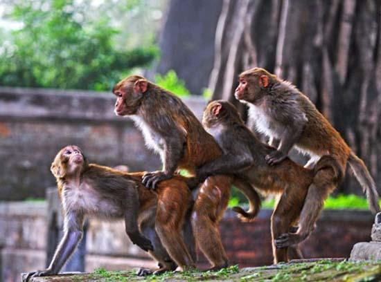 poza tare cu maimute
